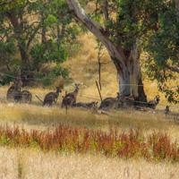 Kangaroos under a gum tree