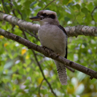 Kookaburra at Pallotti College, Millgrove